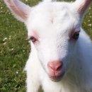 Goat Simulator - Videoanteprima