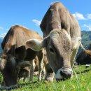 Animalisti contro Nintendo: la mungitura di 1-2-Switch non mostra la vera sofferenza della mucche