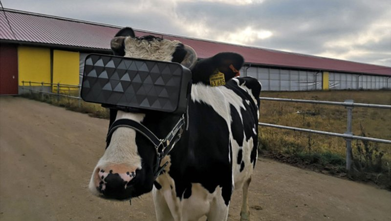 Russia, visori VR alle mucche per latte migliore