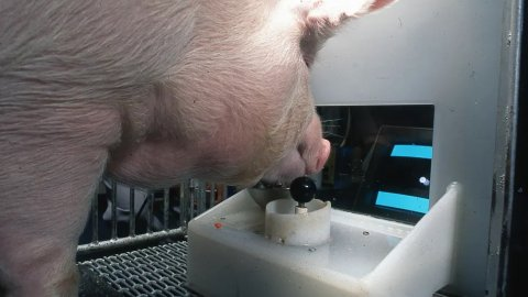 Video games: pigs have learned to play, research results